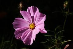 Flower (Hugo von Schreck) Tags: hugovonschreck flower blume blte makro macro canoneos5dsr tamronsp90mmf28divcusdmacro11f017