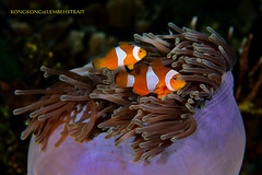 New Couple (kayak_no1) Tags: nikon d800e nauticamhousing diopter ysd1 subsee10 underwater underwaterphotography macro supermacro diving scubadiving uw lembehstrait indonesia anemonefish 60mm