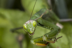 I'm yummy :) (lkiraly72) Tags: prayingmantis mantis yummy funny insect macro dof depthoffield
