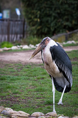 Marabou (Cloudtail the Snow Leopard) Tags: marabu zoo karlsruhe tier animal vogel bird stork marabou leptoptilos crumeniferus cloudtailthesnowleopard