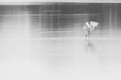 Tiptoeing (Longleaf.Photography) Tags: egret wildlife bird tiptoe wading gadsden jamesmartin trail al swamp wetland nature