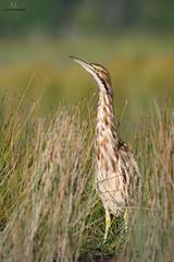 Butor d'Amrique / American bittern (Maxime Legare-Vezina) Tags: bird oiseau nature wild wildlife animal fauna biodiversity ornithology quebec canada