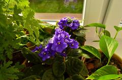 Saintpaulia (ChemiQ81) Tags: saintpaulia spolia plant kwiatek rolina domowa flower parapet okno window