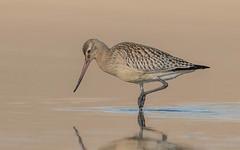 Bar-tailed Godwit (tickspics ) Tags: bartailedgodwit dorset ferrybridge limosalapponica uk weymouth