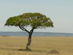 A Tree In The Mara ! (Mara 1) Tags: africa kenya masai mara sunny shade outdoors tree