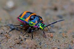 Chrysocoris cf. fascialis - a jewel bug (BugsAlive) Tags: bug animal outdoor insects insect  hemiptera macro nature scutelleridae chrysocorisfascialis jewelbug scutellerinae wildlife chiangmai liveinsects thailand chiangdaons