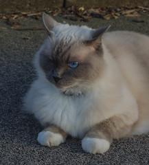 My neighbours cat Amorosa (frankmh) Tags: animal portrait cat ragdoll hittarp skne sweden outdoor pet