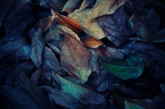 Leaves (Mucun Jixiao) Tags: leaves forests 落葉 枯葉 dead leaf defoliation green 緑 brown 茶色