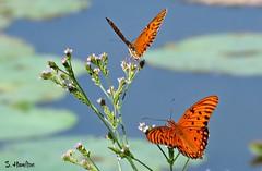 Gulf Fritillary Butterflies (Suzanham) Tags: wildflowers nature macro noxubeewildliferefuge wildlife bug insect canonpowershotsx60hs wings mississippi gulffritillary butterfly
