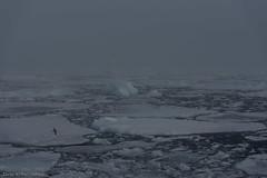 DSC_6515.jpg (Elvar H) Tags: arcticocean helmerhansen siarctic birds ice iceedge
