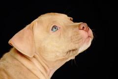 Enzo (Pitbull) (Oscar Marino) Tags: pitbull dog can perro dorado