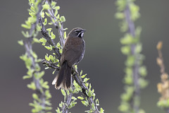 Five-striped Sparrow Backlit on Ocotillo (www.studebakerstudio.com) Tags: fivestriped sparrow backlit ocotillo rubyrd californiagulch arizona songibrd songbirds bird nature animal