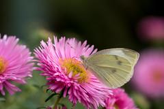 Berlin, Grten der Welt, Karl-Foerster-Staudengarten: Kohlweiling auf einer rosa Asternblte - Cabbage white butterfly on a pink aster (riesebusch) Tags: berlin grtenderwelt karlfoersterstaudengarten marzahn