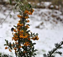 Feuerdorn (mayflower31) Tags: garten strauch frchte rosengewchs