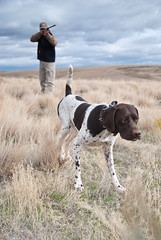 gun safety (Sarah.Lynch) Tags: germanshorthairedpointer timcurry highlandhillsranch centraloregonsportingdog nonotthattimcurry