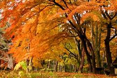 (nobuflickr) Tags: nature japan kyoto autumncolors   kyotoimperialpalace   20121202dsc04098