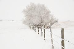 DSC_6767 (Debbie Prediger Photography) Tags: winter canada cattle cows alberta livestock cadogan christmascardart debbiepredigerphotography farmaminals