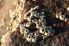 Seepocken (im_fluss) Tags: stone shore northsea barnacles ufer stein nordsee hallig grde seepocken