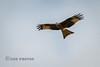 Red Kite (Nigel Dell) Tags: winter birds flickr wildlife redkite riverlodden ngdphotos