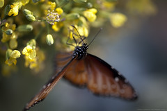 Winged bokeh (Boomingecho) Tags: butterfly wings bokeh queenbutterfly