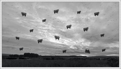 It's Raining Cows (ShinyPhotoScotland) Tags: morning sky people blackandwhite panorama cold art nature composite clouds manipulated landscape scotland cow funny emotion space gimp surreal places humour negativespace surrealist distance toned contrasts confusing stacked dumfriesandgalloway uplifting krita painteffects crazyart digikam newtonstewart tonemapped skyearth rawconversion enfuse luminancehdr darktable photivo mankindnature