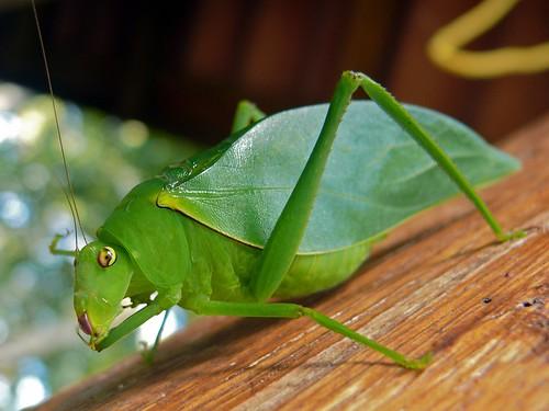 Green Katydid (Tettigoniidae)