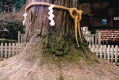 holy tree (Mr.  Mark) Tags: old tree japan ancient shrine fuji religion holy mountfuji bark stockphoto markboucher