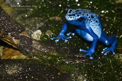 Blue Poison Dart Frog (Orchidelique) Tags: nature animal washingtondc wildlife amphibian frog nationalzoo azureus poisondartfrog dendrobates bluepoisondatfrog