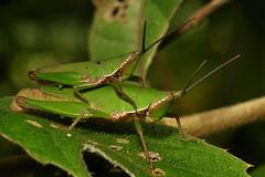 Grasshoppers (Atractomorpha sp., Pyrgomorphidae) (John Horstman (itchydogimages, SINOBUG)) Tags: china 2 macro green insect camouflage grasshopper yunnan orthoptera crypsis tumblr itchydogimages sinobug