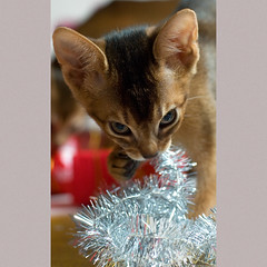 X-mas 5 (peter_hasselbom) Tags: christmas xmas red cats glitter cat 50mm kitten flash kittens parcels yule parcel abyssinian merrychristmas 10weeksold 1flash