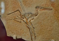 Pterodactylus elegans, James and Louise Temerty Galleries of the Age of Dinosaurs (MorboKat) Tags: nature museum skeleton fossil ancient dinosaur bones biology rom royalontariomuseum pterosaur latejurassic pterodactyluselegans