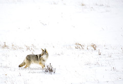 coyotesnow001 (Deby Dixon) Tags: travel nature landscape photography nationalpark wolf wildlife moose fox yellowstonenationalpark wyoming bison wyo bullelk debydixonphotography