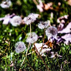 Lost in the Breeze (OutlawMenacePhotography) Tags: california winter plants house green home make grass leaves yard outside ground blow myworld wish pick dandelions