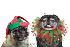 Festive (Megan Lorenz) Tags: christmas red dog pets black green hat studio festive december pug canine whitebackground fawn breed collar pugs isolated carlin mops seasonsgreetings mlorenz meganlorenz