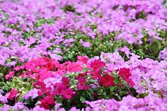 A Sea Of Purple... Better Than Snow! (bigbrowneyez) Tags: pink flowers green nature pretty dof gorgeous natura fresh tiny mauve lovely fiori delicate colori dainty delightful impatients bellissimi betterthansnow seaofpurple flickrflowercarpet