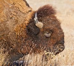 Bison (Lindell Dillon) Tags: oklahoma canon buffalo wildlife wichitamountains prairie bison americanbison eos7d reddirtpics lindelldillon