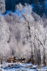 Elk Amongst Hoarfrost (Free Roaming Photography) Tags: trees winter usa white snow cold west tree male ice weather animal animals female frozen nationalpark frost adult hoarfrost wildlife young freezing bull freeze cottonwood northamerica wyoming females elk mammals herd grandteton jacksonhole cottonwoods grandtetonnationalpark cottonwoodtrees nationalelkrefuge