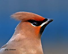 bohemain waxwing (gray clements) Ta