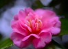 Camellia:御代紅 (love_child_kyoto) Tags: pink flower macro nature kyoto 京都 camellia 花 自然 botanicalgarden 冬 マクロ 椿 ネイチャー masterphotos 京都府立植物園 takenwithlove nikond800 mindigtopponalwaysontop マスター写真 ニコンd800 january62013
