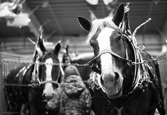 hello big guy (Jen MacNeill) Tags: show horses blackandwhite bw horse white black animals driving pennsylvania farm pa grooming belgian harness livestock stable harrisburg draft workhorse 2013 gypsymarestudios canont3i jennifermacneilltraylor jmacneilltraylor