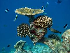 Snorkeling in Biyadhoo (ladigue_99) Tags: atoll atollo maldive maldives malediven indianocean océanindien oceanoindiano lakshadweepsea barrieracorallina coralreef barrierreef ladigue99 swimming nuoto nuotare snorkeling fish pesci pesciolini corallo coral underwater subacqueo teal biyadhoo biyadoo southmaleatoll acropora