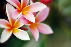 i Love Frangipani (missgeok) Tags: lighting pink flowers summer orange white flower green southamerica nature colors beautiful closeup composition focus soft pretty mood colours dof plumeria bokeh pov pastel gorgeous sydney smell colourful framing dogbane favourite popular fragrance nationalgeographic selectivefocus nativeflower softtones smoothbokeh bokehlicious nikond90 ilovefrangipani