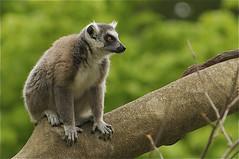 lemur, ring tailed (ucumari photography) Tags: zoo nc north lemur carolina april madagascar 2012 specanimal ucumariphotography dsc0093