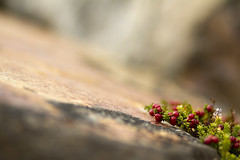 Fox berry and perfect granite (Vertical Planar) Tags: patagonia argentina chile  chille cerro torre fitz roy torresdelpaine
