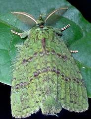 Mossy moth (Mpanjaka pastor) (pbertner) Tags: hairy night paul nationalpark moss wings rainforest moth stack lepidoptera camouflage scales madagascar mossy eastcoast entomology mantadia andasibe perinet bertner zerenestacker pbertner pbertnerwordpresscom
