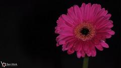 Gerbera Macro (Ben Wink Photography) Tags: pink black flower macro suffolk nikon close ben flash norfolk gerbera r1 nikkor wink gerberas 105mm speedlite giottos r1c1 bwpuk