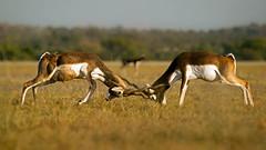 Black bucks (Brainstuck) Tags: fight action antelope grassland rajasthan blackbucks antilopecervicapra churu talchappar