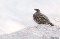 Hazel Grouse (ArcticBirdwatching) Tags: hazelgrouse bonasabonasia jerpe
