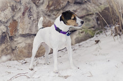 Natalia 2-3-13 (javcon117) Tags: winter dog pet white snow black outside jrt tan canine terrier jackrussell tricolor natalia collar electricfence invisiblefence javcon117 frostphotos