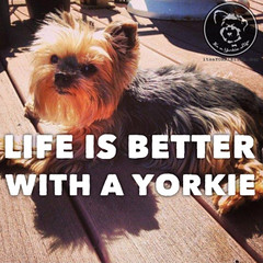 Click LIKE if you know this is true. (itsayorkielife) Tags: yorkiememe yorkie yorkshireterrier quote